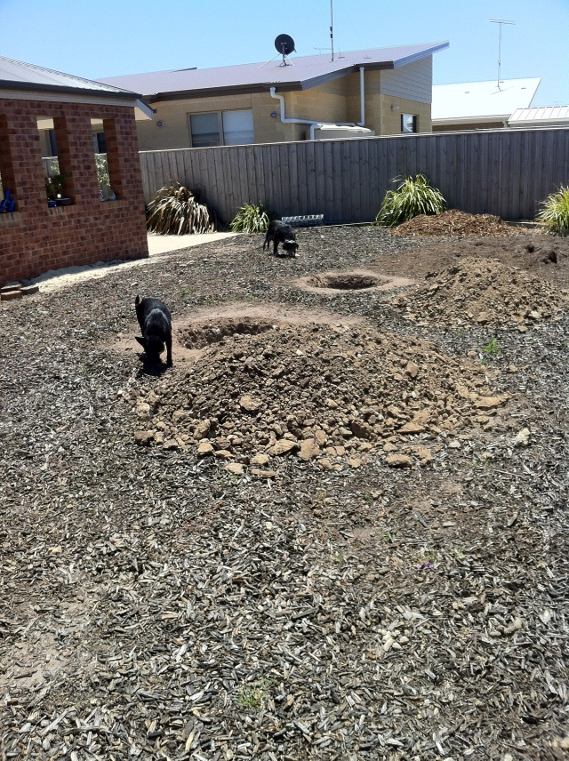 Izzi and Sam the dogs sussing out the tree holes for potential bone storage.